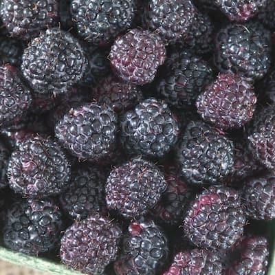 Giant Kiowa Blackberry (Rubus) Live Bareroot Fruiting Plant (1-Pack)