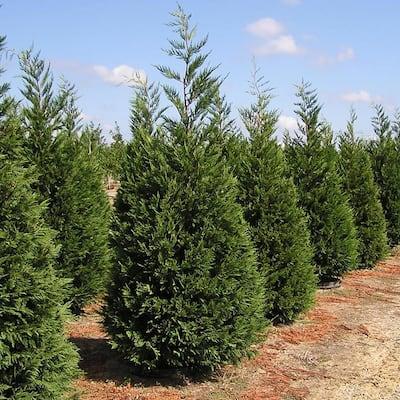 7 Gal. Leyland Cypress Evergreen Privacy Tree