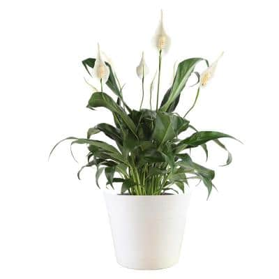 6 in. Vigoro Spathiphyllum Peace Lily Plant in White Décor Plastic Pot