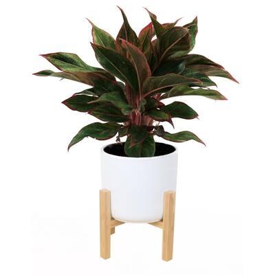 6 in. Siam Aurora Red Aglaonema Plant in Mid Century Planter White