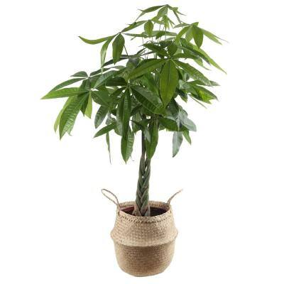 Pachira Money Tree Plant in 10 in. Natural Decor Basket