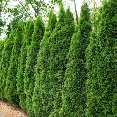 2.5 qt. Arborvitae Emerald Green Shrub