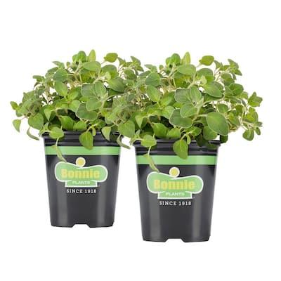 19.3 oz. Italian Oregano Plant 2-Pack