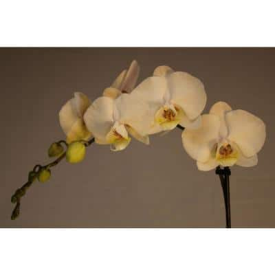 Luna River 4.0 in. Bio Pot White Phalaenopsis Orchid