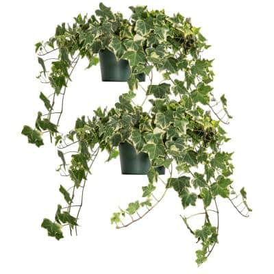 Variegated English Ivy (Hedera Helix Variegata) 6 in. Grower's Pot