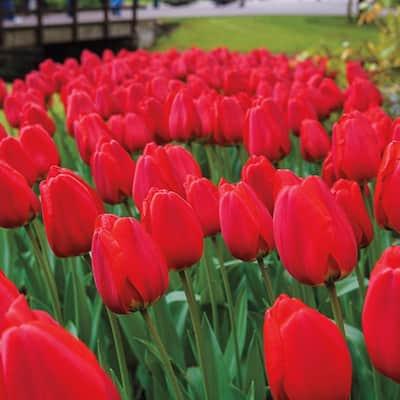 Apeldoorn Darwin Hybrid Tulip Bulbs (100-Pack)