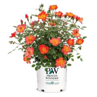 2 Gal. Oso Easy Hot Paprika Rose Plant with Bold Electric Orange Flowers