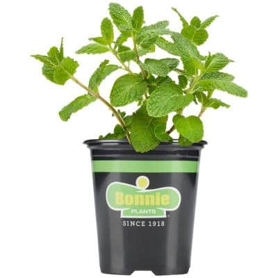 19.3 oz. Sweet Mint Plant