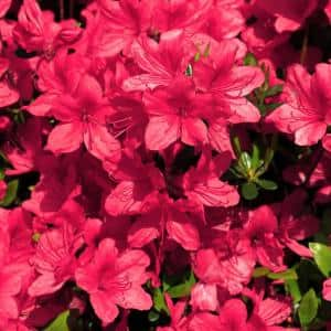 2.25 Gal. Azalea Sunglow Flowering Shrub with Red Blooms