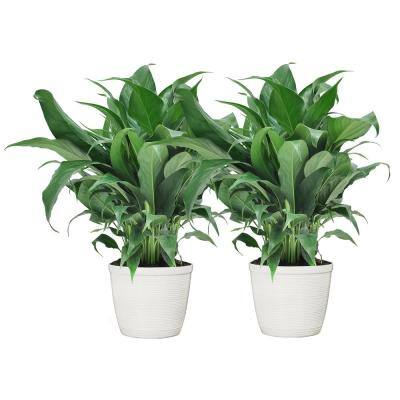 6 in. Spathiphyllum Plant in White Decor Pot (2-Pack)