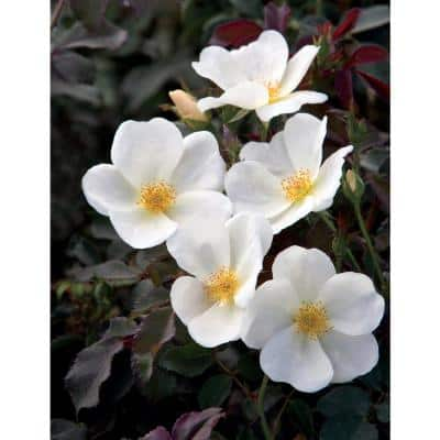 Bareroot The White Knock Out Rose Bush with White Flowers