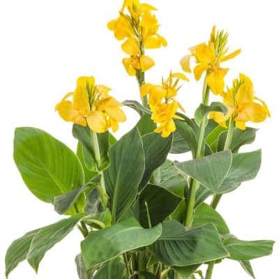 1 Gal. Canna Lily Yellow Flower in Grower's Pot (4-Plants)