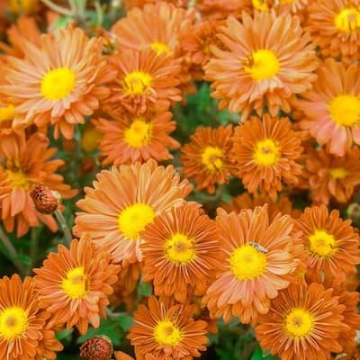 3 in. Pot Bronze Daisy Mammoth Mum (Chrysanthemum), Live Flowering Perennial Plant (1-Pack)