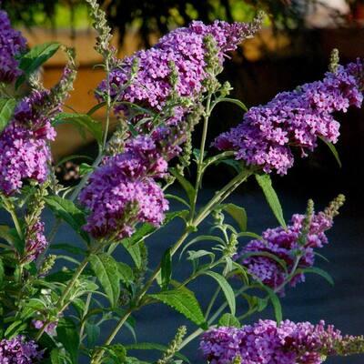 2.5 qt. Buddelia Nanho Purple Flowering Shrub with Purple Blooms