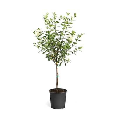 3 Gal. Flowering Gardenia Tree