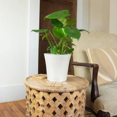6 In. Swiss Cheese Plant Monstera Plant in Grower Pot