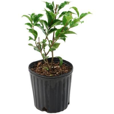 2.5 Qt. Black Magic Camellia Japonica Plant with Dark Red Blooms