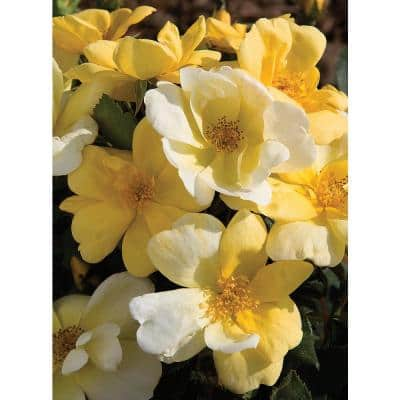3 Gal. Yellow The Sunny Knock Out Rose Bush with Yellow Flowers (2-Plants)