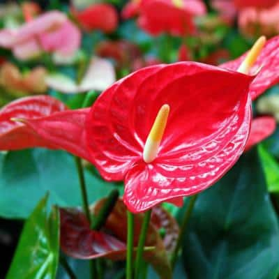 6 in. Lace leaf Fire Glow Anthurium Plant in Grower Pot