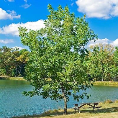 Hardy Pecan (Carya) Live Bareroot Nut Tree (1-Pack)