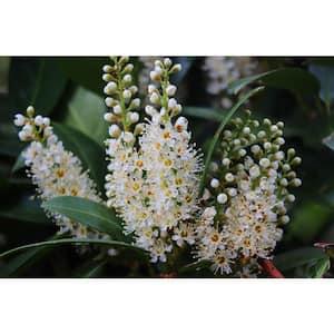 1 Gal. Cherry Laurel Otto Luyken Shrub Hardy, Fragrant, Beautful Shrub Perfect for Hedge Plantings