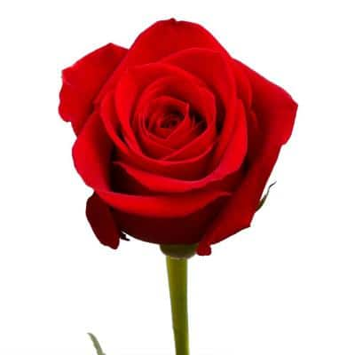 100 Red Roses Fresh Flower Delivery
