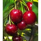 Lapins Cherry Tree - Self Pollinating, Delicious Dark-Red Sweet Cherries (Bare-Root, 3 ft. to 4 ft. Tall, 2-Years Old)