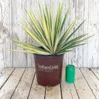 2 Gal. Color Guard Yucca (Adam's Needle) with Variegated Creamy White and Dark Green Foliage