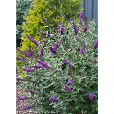 1 Gal. Miss Violet Butterfly Bush (Buddleia) Live Shrub, Purple Flowers