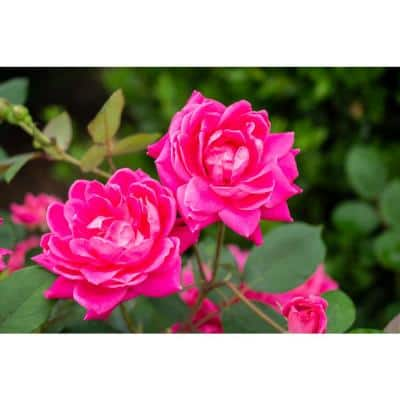 2 Gal. The Pink Double Knock Out Rose with Pink Flowers