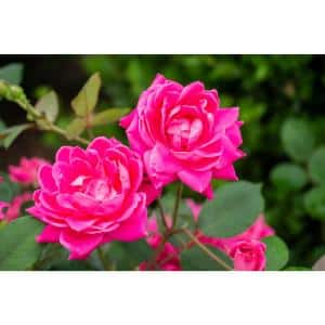 3 Gal. The Pink Double Knock Out Rose Bush with Pink Flowers