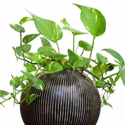 4 In. Devil's Ivy 'Variegated' Pothos Plant in grower pot - 4 Piece