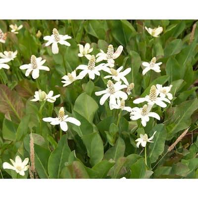 Premium Series Pond Marginal Anemopsis Californica Kit