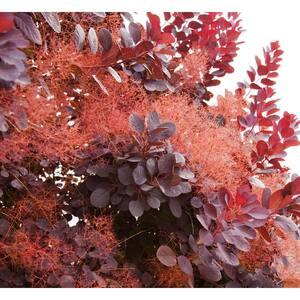 1 Gal. Royal Purple Smokebush Shrub Colorful Plumes Rising Out of Foliage Provide a Rare and Dramatic Smokey Effect