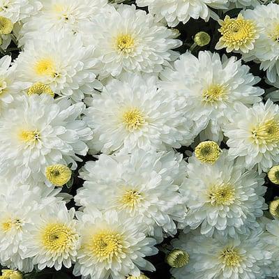 8 in. White and Cream Chrysanthemum Plant