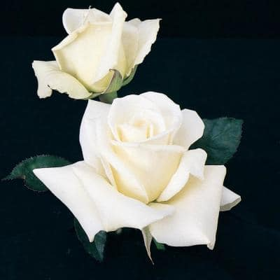 John F. Kennedy Hybrid Tea Rose Live Bareroot Plant with White Color Flowers (1-Pack)