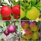 4-in-1 Apple Jubilee Tree Bare Root