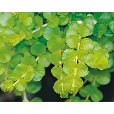 4.5 in. Qt. Goldilocks Creeping Jenny (Lysimachia) Live Plant, Gold-Green Foliage