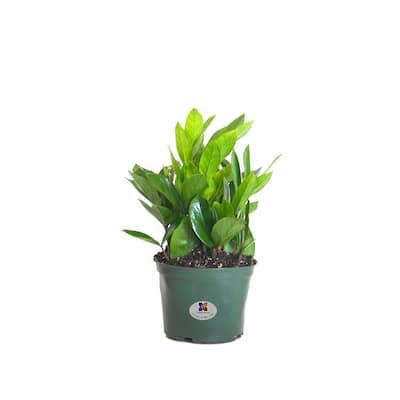 12 in. to 16 in. Tall ZZ Plant Zamioculcas Zamiifolia Plant
