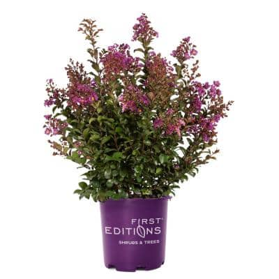 3 Gal. Purple Magic Crape Myrtle Tree with Dark Purple Blooms