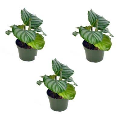 4 in. Calathea Orbifiolia Plant (3-Pack)