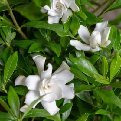 2 Gal. Fool Proof Gardenia, Evergreen Shrub In A Compact Form With Pure White Blooms