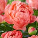 Van Zyverden Peonies 2019 Color Of The Year Living Coral Set of 6 Roots