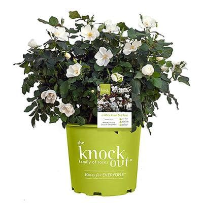 3 Gal. The White Rose Bush with White Flowers