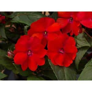 2 Gal. SunPatiens Red Impatien Outdoor Annual Plant with Red Flowers in 12 In. Hanging Basket