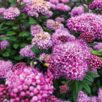 4 in. qt. Poprocks Petite Spirea (Spiraea) Live Shrub, Candy Pink Flowers