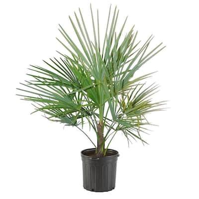 10 in. European Fan Palm Tree with Silvery-Green Foliage