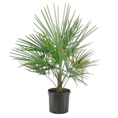 14 in. European Fan Palm Tree with Silvery-Green Foliage