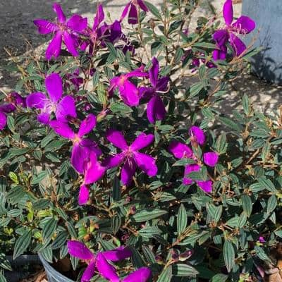 3 Gal. Dwarf Princess Flower (Tibouchina) Plant with Purple Blooms in Pot