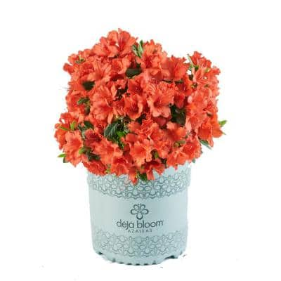 2 Gal. Red Tiara Deja Bloom Azalea Flowering Shrub